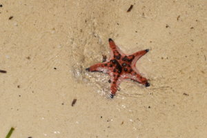 A red starfish in the sand.
